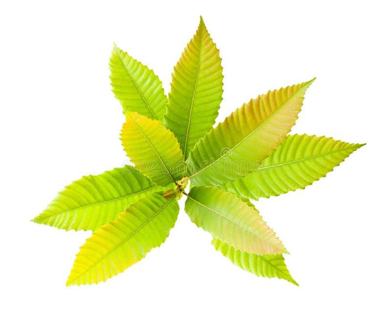 Folhas da castanha foto de stock