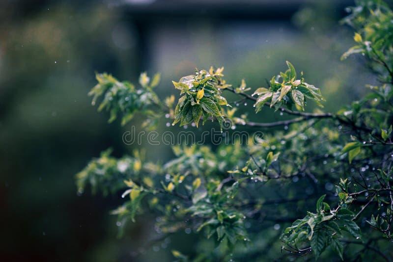 Folhas da chuva e da árvore imagem de stock