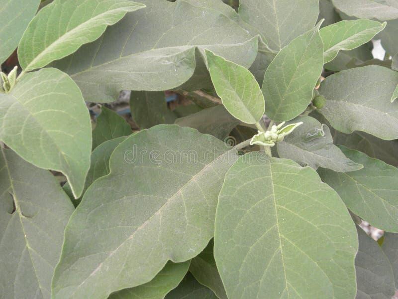 Folhas da cor verde da planta indiana do ginsém imagem de stock
