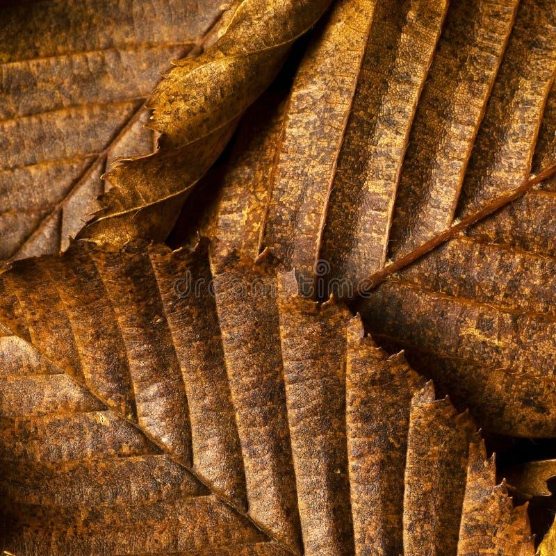 Folhas da faia no outono imagem de stock royalty free