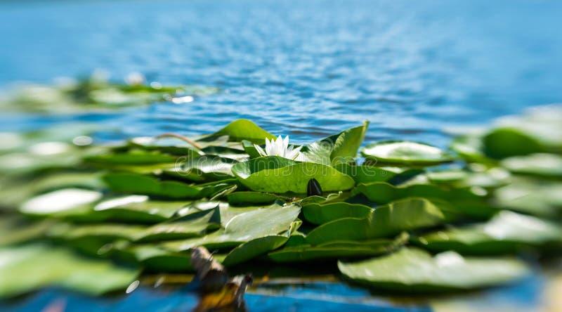 Folhas da flor e do verde de lótus brancos na superfície da água calma fotos de stock royalty free