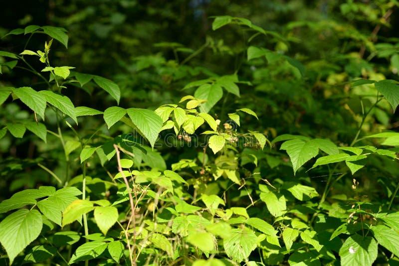 Folhas da framboesa selvagem fotos de stock