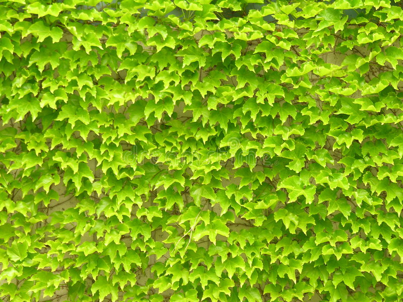 Download Folhas da hera na parede foto de stock. Imagem de tapete - 114736
