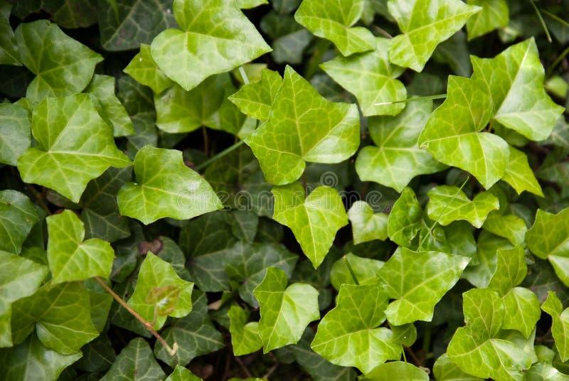 Folhas da hera verde fresca imagens de stock
