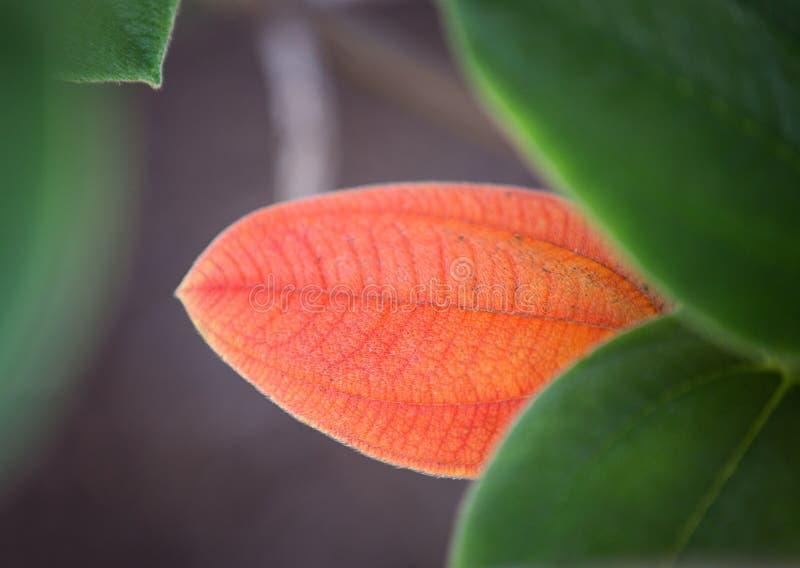 Folhas da laranja e do verde macro imagem de stock