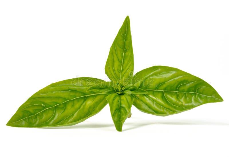 Folhas da manjericão fotografia de stock