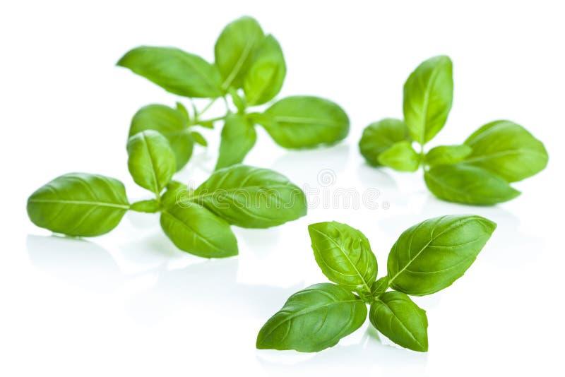 Folhas da manjericão isoladas foto de stock