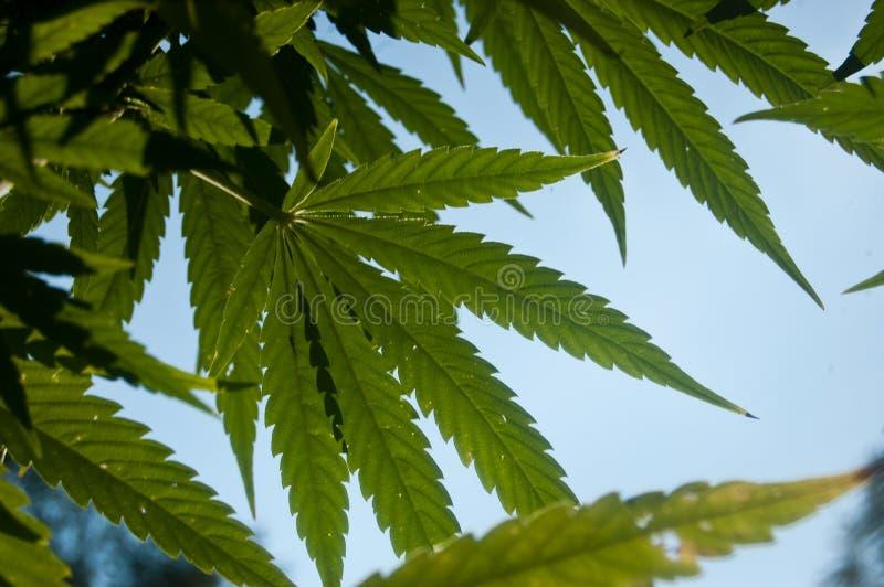 Folhas da marijuana no céu azul imagens de stock royalty free