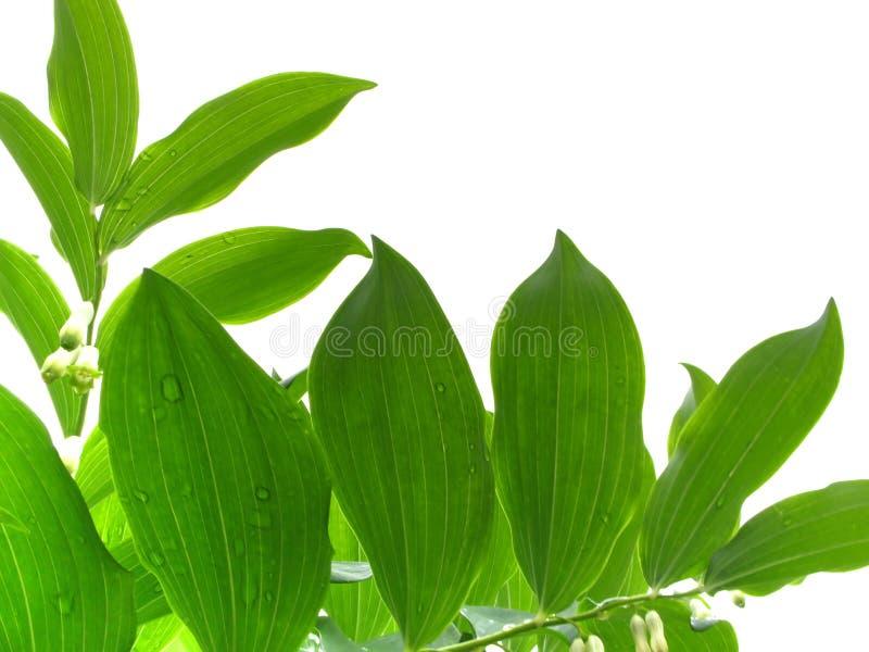 Download Folhas da mola imagem de stock. Imagem de orvalho, fresco - 12805957