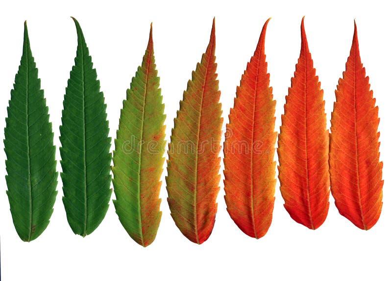 Folhas da noz que mudam cores fotos de stock