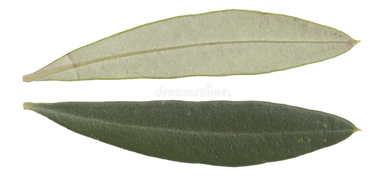 Folhas da oliveira imagem de stock