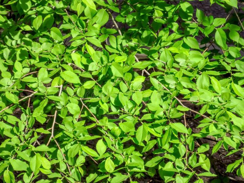 folhas da Olmo-árvore fotos de stock