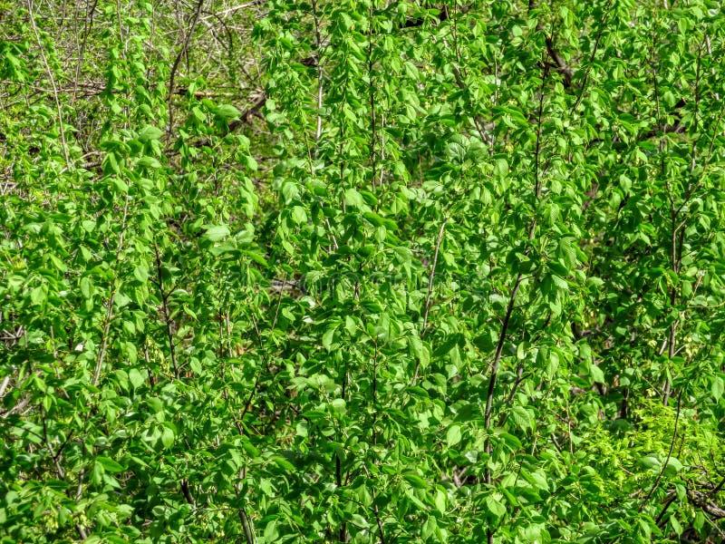 folhas da Olmo-árvore foto de stock royalty free