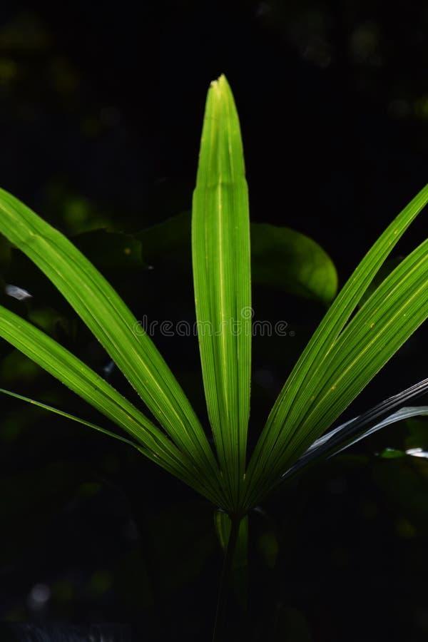Folhas da palma fotos de stock royalty free