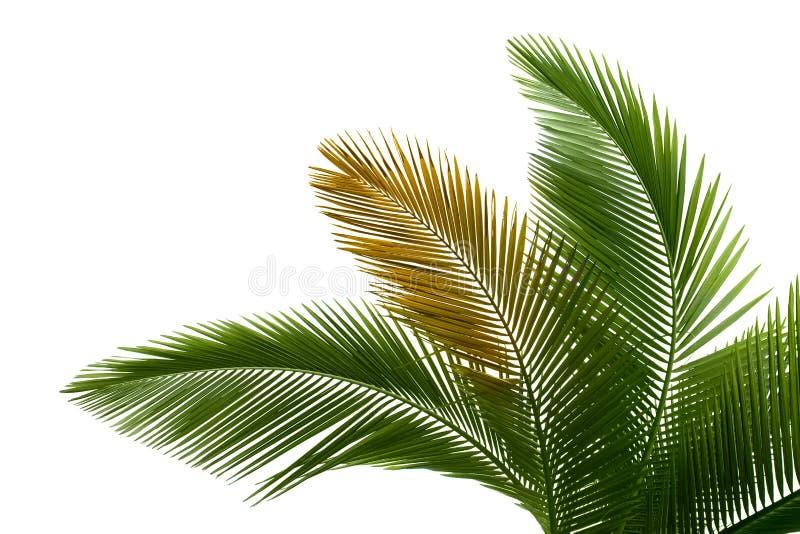 Folhas da palma imagem de stock