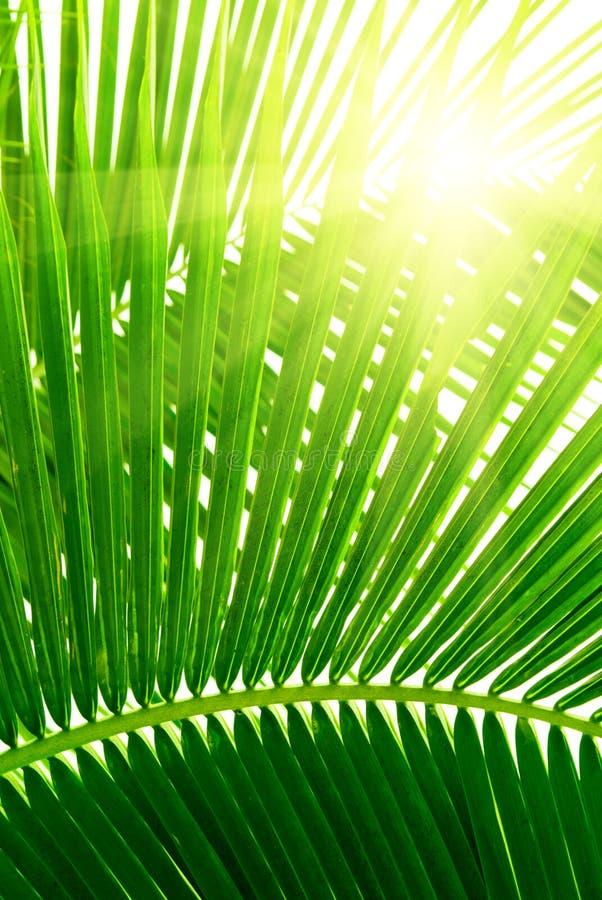 Folhas da palma imagens de stock royalty free