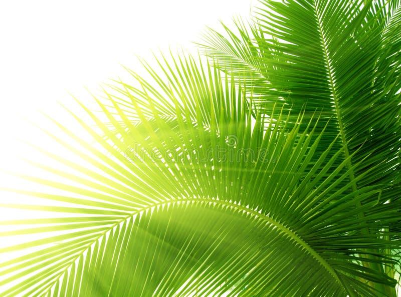Folhas da palma fotografia de stock