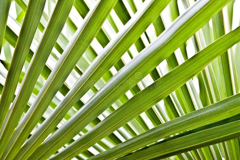 Folhas da palmeira foto de stock