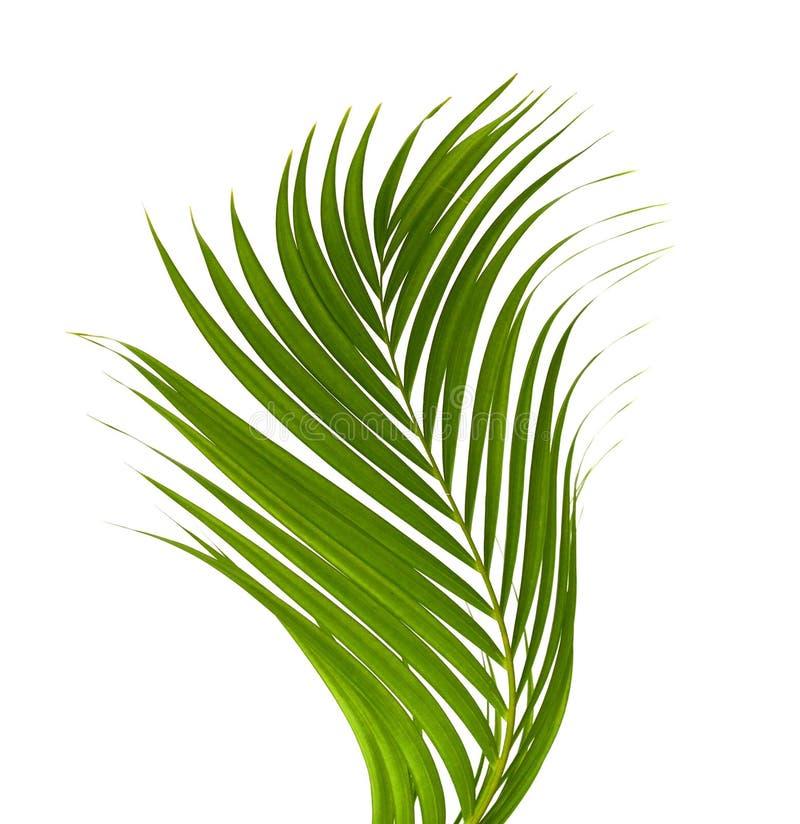 Folhas da palmeira imagens de stock royalty free