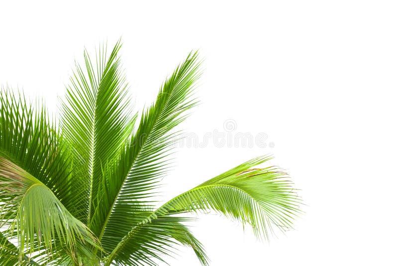 Folhas da palmeira isoladas no fundo branco imagem de stock