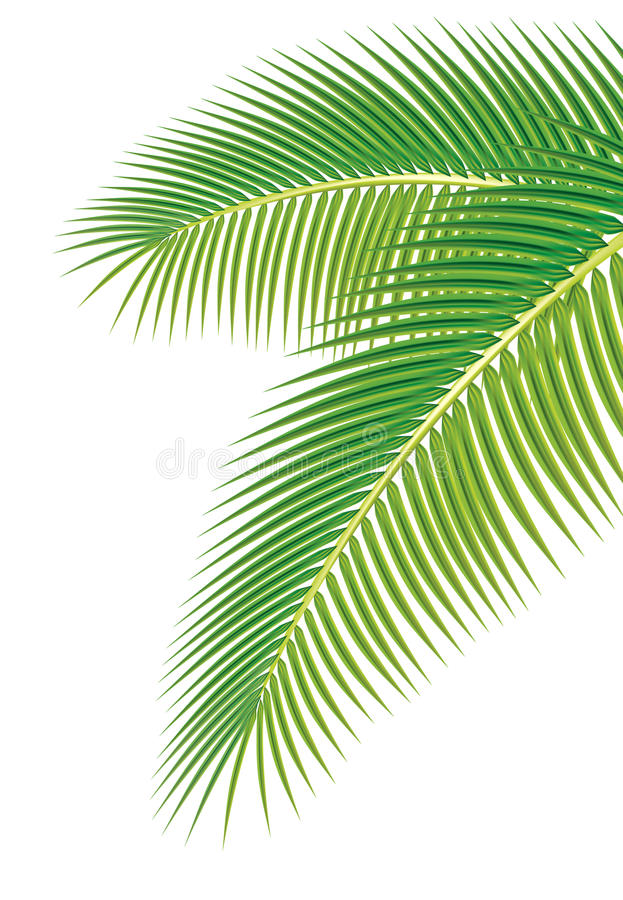 Folhas da palmeira no fundo branco.