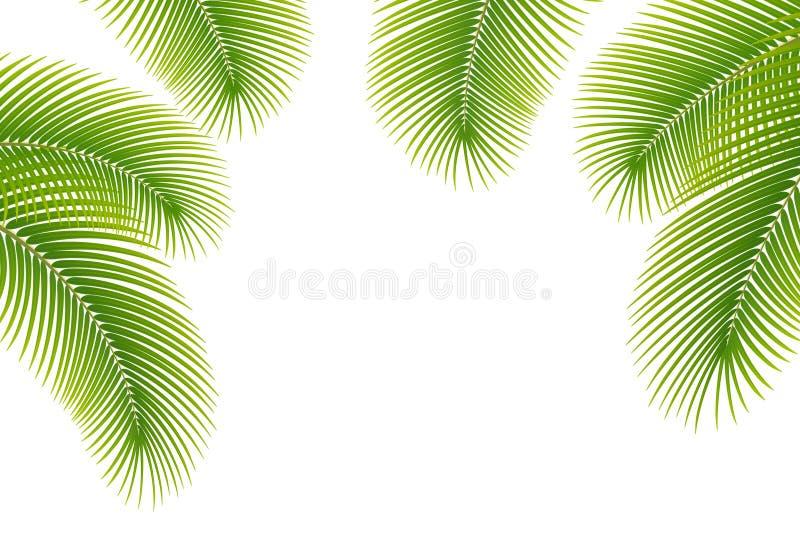 Folhas Da Palmeira No Fundo Branco Ilustra 231 227 O Stock