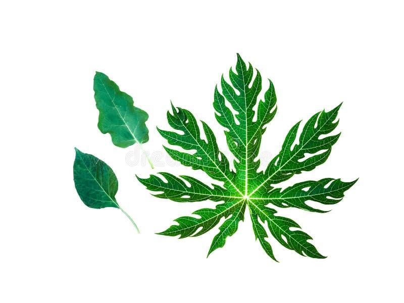 Folhas da papaia, folhas do pimentão, folhas da beringela fotos de stock