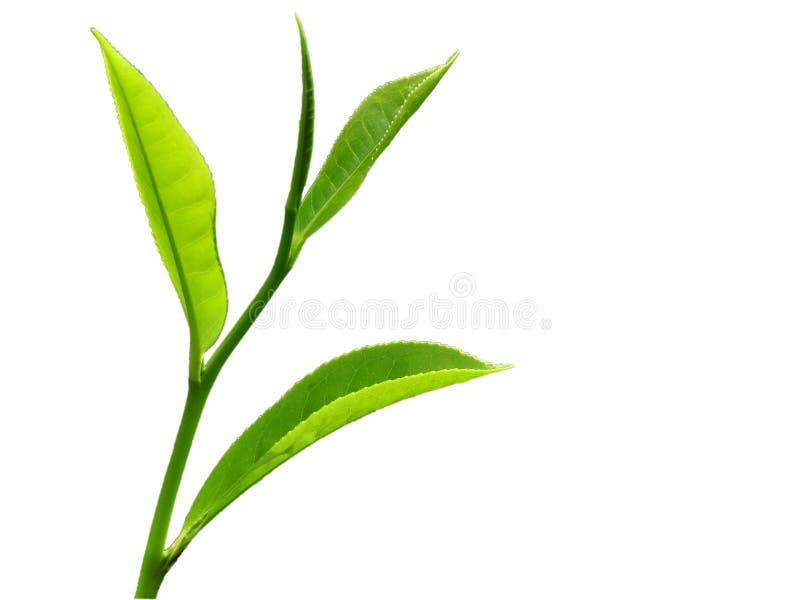 Folhas da parte superior quatro de uma planta de chá imagens de stock royalty free