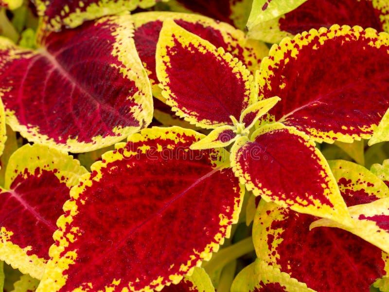 Folhas da planta do coleus, scutellarioides do vermelho e do verde de Plectranthus fotos de stock