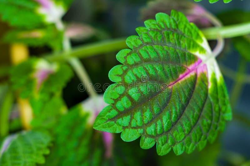 Folhas da planta do coleus, scutellarioides do vermelho e do verde de Plectranthus, fim acima imagens de stock