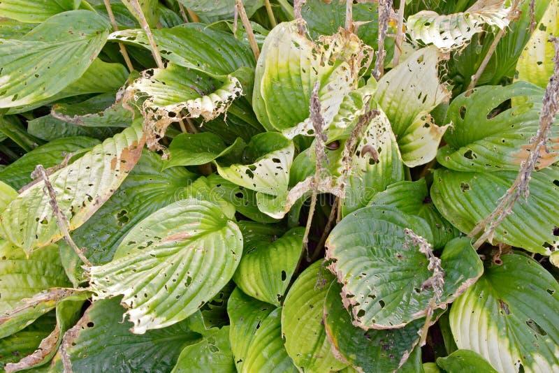 Folhas da planta do Hosta com furos fotografia de stock royalty free