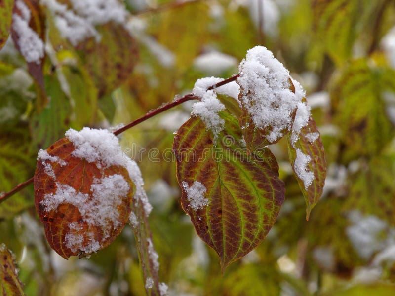 Folhas da queda com neve nas madeiras fotografia de stock royalty free