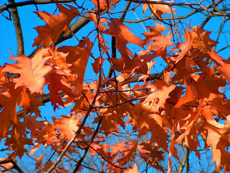 Folhas da queda de Brown imagens de stock