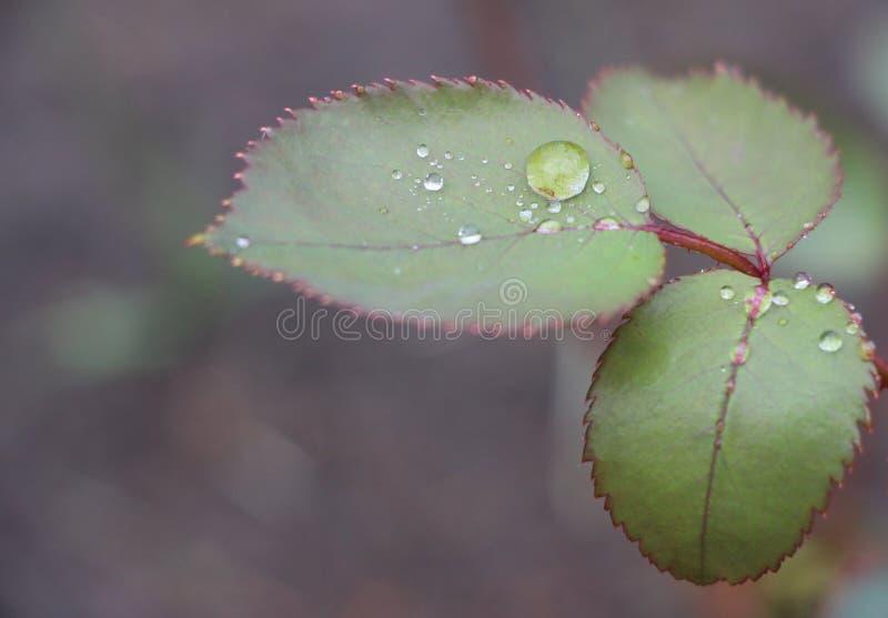 Folhas da rosa do verde com os waterdrops macro foto de stock