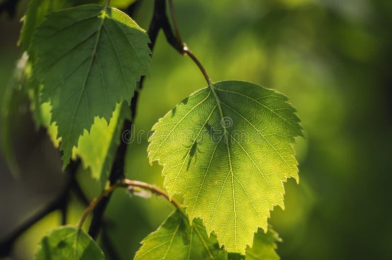 Folhas da ?rvore de vidoeiro imagem de stock