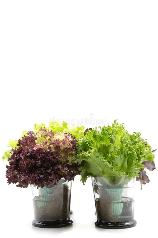 Folhas da salada no vidro imagens de stock royalty free