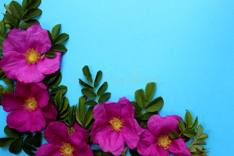 Folhas da textura e bot?es de flores cor-de-rosa selvagens em um fundo azul imagens de stock
