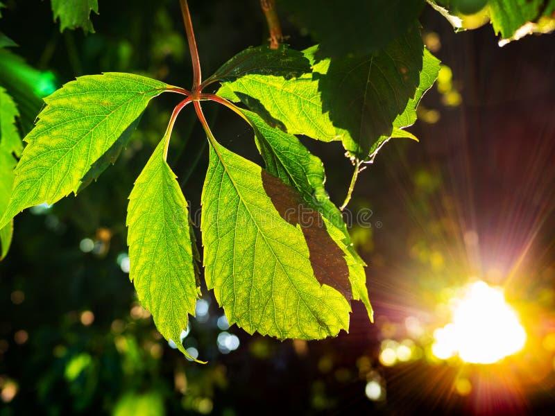 Folhas da trepadeira da Virgínia iluminadas pelo sunligh imagem de stock royalty free