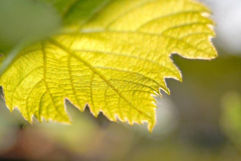 Folhas da uva imagens de stock royalty free