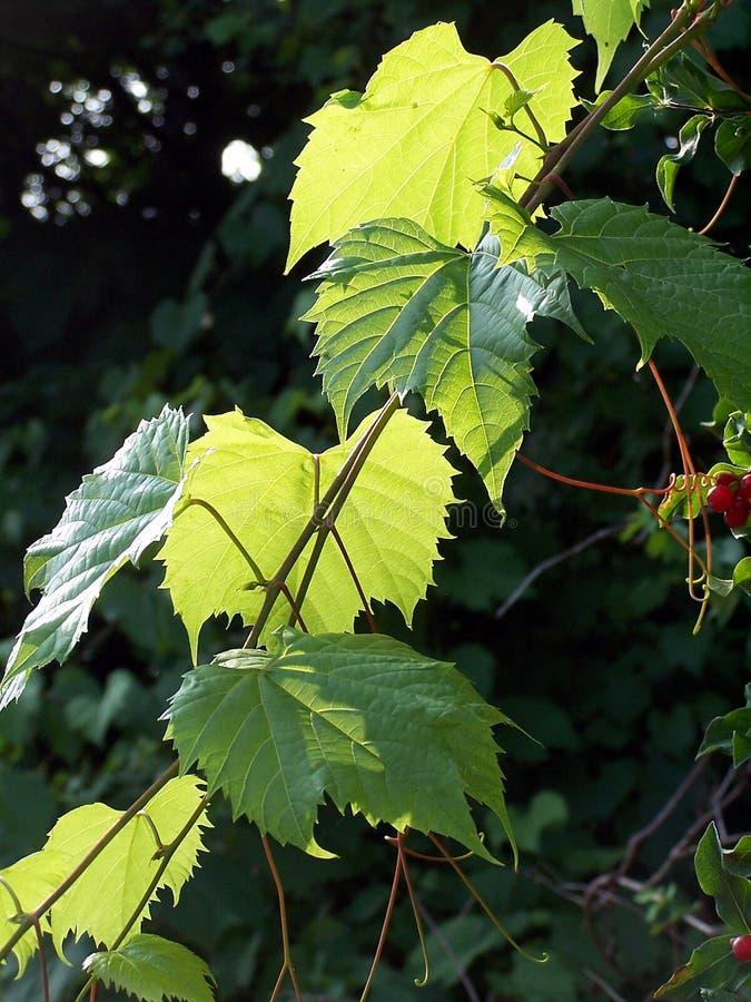 Folhas da uva fotografia de stock