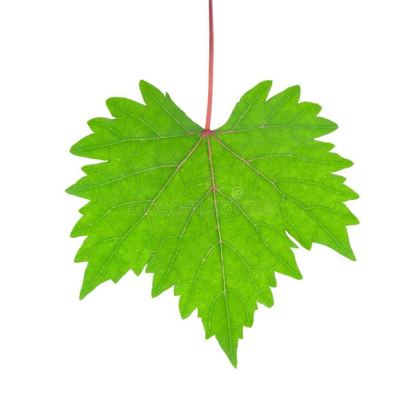 Folhas da uva isoladas no fundo branco com trajeto de grampeamento fotografia de stock royalty free