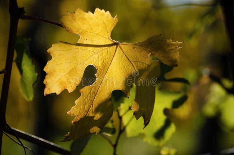 Folhas da variedade da uva de Nebbiolo após o outono e a colheita no vinhedo da região de Barolo Langhe, em Piedmont, Italia fotos de stock royalty free