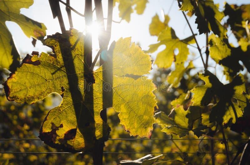 Folhas da variedade da uva de Nebbiolo após o outono e a colheita no vinhedo da região de Barolo Langhe, em Piedmont, Italia fotos de stock