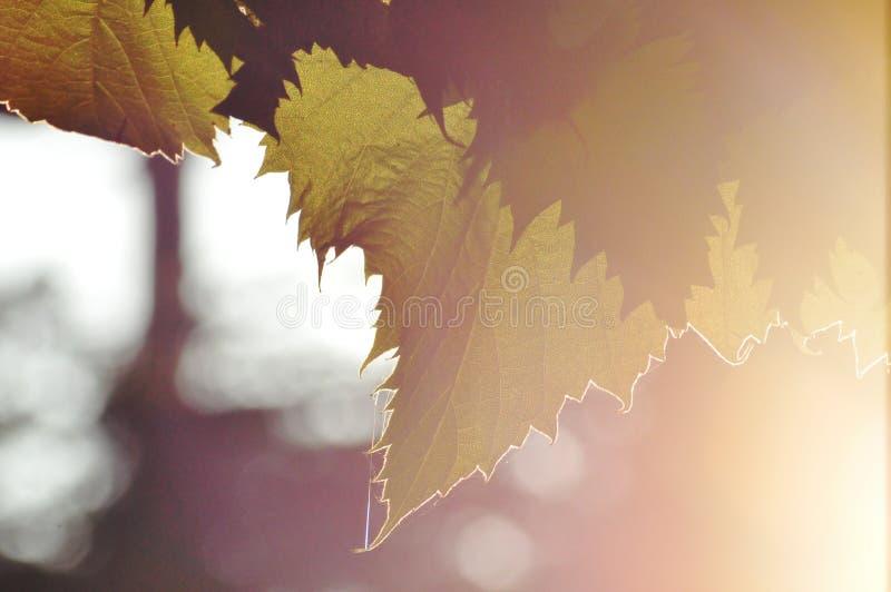 folhas da videira no luminoso imagens de stock royalty free