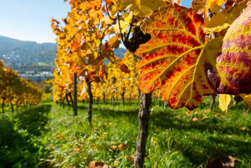 Folhas da videira no outono em um vinhedo imagens de stock royalty free