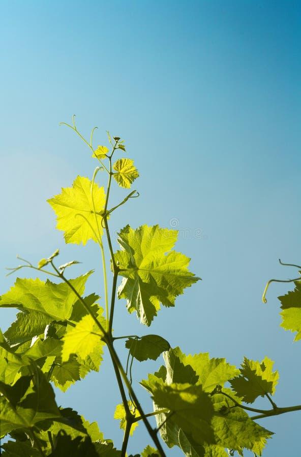 Folhas da vinha foto de stock