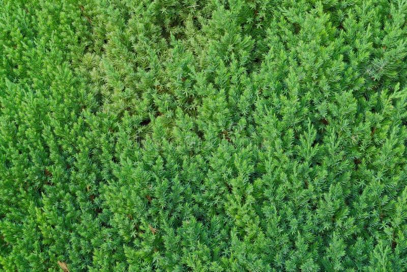 Folhas dadas forma da cor verde agulha fresca fotos de stock