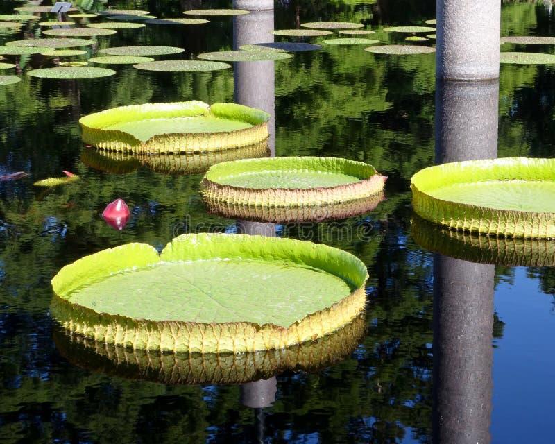 Folhas dadas forma placa de um água-lírio gigante fotografia de stock royalty free