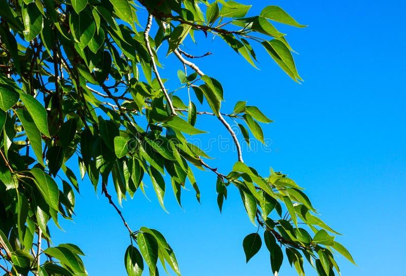 Folhas das hortaliças no fundo verde Opinião do macro do ramo de árvore do álamo fotografia de stock