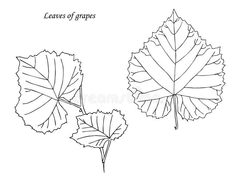folhas das uvas Mão desenhada esboço ilustração do vetor